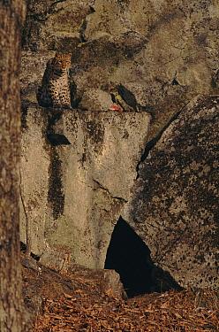 Amur Leopard (Panthera pardus orientalis) camouflaged at den, Kedrovapad Nature Reserve, Ussuriland, Primosky, Russia  -  Yuri Shibnev/ npl