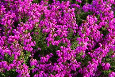Bell Heather (Erica cinerea) flowering, Holt Heath, Dorest, England  -  Graham Hatherley/ npl