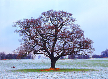English Oak (Quercus robur) tree in field in January, Derbyshire, England, Seasons sequence, winter  -  Chris O'Reilly/ npl