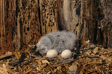 Tawny Owl (Strix aluco) newly hatched chick in nest with eggs, Poland  -  Artur Tabor/ npl