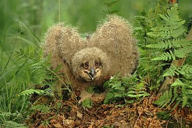 Eurasian Eagle-Owl (Bubo bubo) chick in threat display, Poland  -  Artur Tabor/ npl
