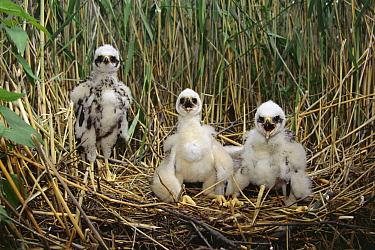 Western Marsh-Harrier (Circus aeruginosus) chicks in nest, Kozienicki National Park, Poland  -  Artur Tabor/ npl