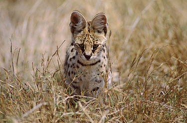 Serval (Leptailurus serval) hunting on savanna, Ngorongoro Crater, Tanzania  -  Owen Newman/ npl