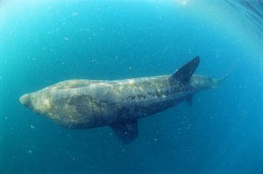 Basking Shark (Cetorhinus maximus) feeding, Cornwall, England  -  Dan Burton/ npl