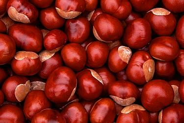 Horse Chestnut (Aesculus hippocastanum) nuts, Poland  -  Artur Tabor/ npl