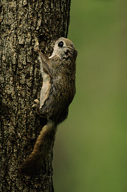 Russian Flying Squirrel (Pteromys volans), Ussuriland, Primorsky, Russia  -  Yuri Shibnev/ npl