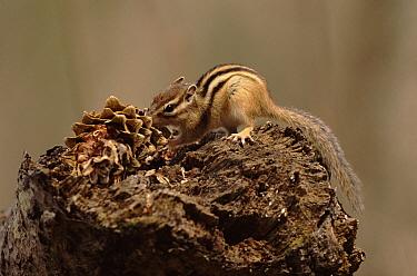Siberian Chipmunk (Tamias sibiricus), Ussuriland, Primorsky, Russia  -  Yuri Shibnev/ npl