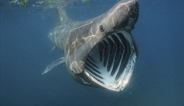 Basking Shark (Cetorhinus maximus) filter feeding in Atlantic ocean off Cornwall, England  -  Alan James/ npl