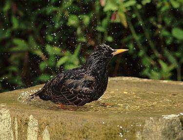 Common Starling (Sturnus vulgaris) female bathing in bird bath in spring, Derbyshire, England  -  Chris O'Reilly/ npl