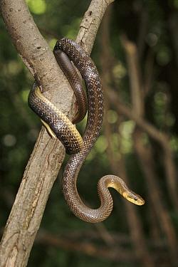 Aesculapian Snake (Elaphe longissima) on branch, Bieszczadzki National Park, Poland  -  Artur Tabor/ npl