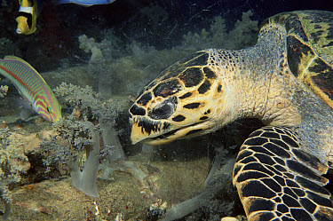 Hawksbill Sea Turtle (Eretmochelys imbricata) eating soft coral, Red Sea  -  Brent Hedges/ npl
