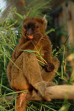 Greater Bamboo Lemur (Prolemur simus) feeding, Vondrozo National Park, Madagascar  -  Nick Gordon/ npl