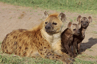 Spotted Hyena (Crocuta crocuta) with pups, Kenya  -  Mike Wilkes/ npl