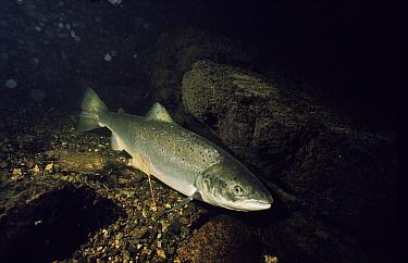 Atlantic Salmon (Salmo salar), River Tavy, Devon, England  -  Alan James/ npl