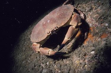 Edible Crab (Cancer pagurus) off Devon, England  -  Alan James/ npl