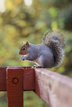 Eastern Gray Squirrel (Sciurus carolinensis) feeding on fence, Ireland  -  Chris O'Reilly/ npl