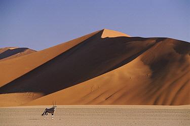 South African Gemsbok (Oryx gazella gazella) and sand dunes at Sossus Vlei, Namibia  -  Jose B. Ruiz/ npl