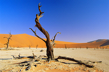 Petrified trees, Deadvlei, Namib-Naukluft National Park, Namib Desert, Namibia  -  David Noton/ npl