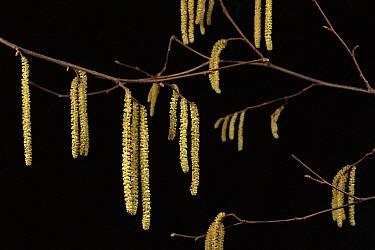 Hazelnut (Corylus avellana) male catkins, Poland  -  Artur Tabor/ npl