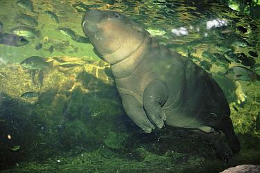 Pygmy Hippopotamus (Hexaprotodon liberiensis) swimming  -  Anup Shah/ npl