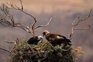 Golden Eagle (Aquila chrysaetos) adult and chick at nest, Primorsky, Russia  -  Yuri Shibnev/ npl