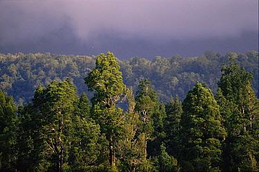 Kahikatea Tree (Podocarpus dacrydioides) a white pine in swamp forest, South Island, New Zealand  -  Martin Dohrn/ npl