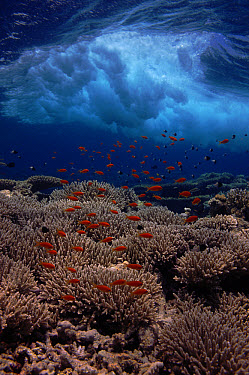 Sea Goldie (Pseudanthias squamipinnis) schooling over shallow reef, Red Sea, Egypt  -  Georgette Douwma/ npl