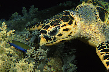 Hawksbill Sea Turtle (Eretmochelys imbricata) feeding on soft coral, Red Sea  -  Brent Hedges/ npl