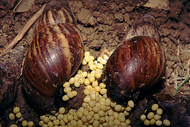 Giant African Land Snail (Achatina sp) laying eggs, North Delhi ridge, India  -  Ashok Jain/ npl