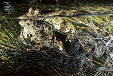 European Green Toad (Bufo viridis) pair in amplexus, note eggs, Italy  -  Fabio Liverani/ npl