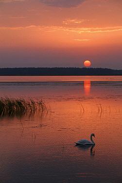 Mute Swan (Cygnus olor) on lake at sunset, Poleski National Park, Poland  -  Artur Tabor/ npl