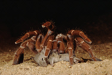 King Baboon Spider (Citharischius crawshayi) female feeding on mouse kill, Tsavo National Park, Kenya  -  Jabruson/ npl