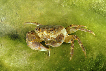 Short-tailed Crab (Potamon fluviatile) feeding on small fish, Italy  -  Fabio Liverani/ npl