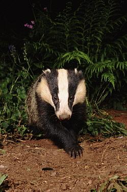 Eurasian Badger (Meles meles) adult at night, summer, Devon, England, United Kingdom  -  Kevin J Keatley/ npl