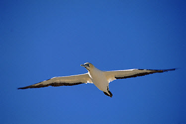 Cape Gannet (Morus capensis) flying, Malgas Island, South Africa  -  Peter Scoones/ npl