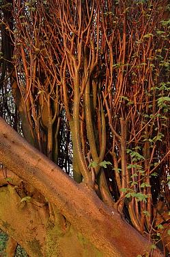Common Lime (Tilex vulgaris) tree at dawn, Perthshire, Scotland  -  Niall Benvie/ npl