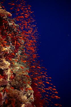 Sea Goldie (Pseudanthias squamipinnis) schooling on coral reef, Red Sea, Eygpt  -  Peter Scoones/ npl