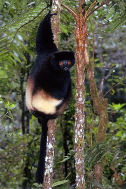Milne-Edward's Sifaka (Propithecus diadema edwardsi) climbing tree, Ranomafana National Park, Madagascar  -  Nick Garbutt/ npl