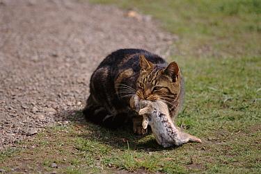 Domestic Cat (Felis catus) with dead rabbit prey, Scotland  -  Brian Lightfoot/ npl