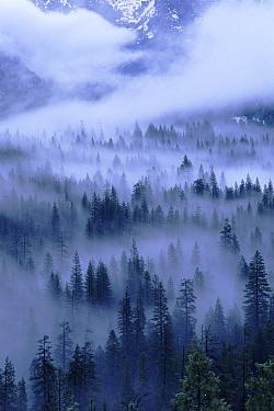 Fog shrouded fir trees, winter, Yosemite National Park, California  -  David Welling/ npl