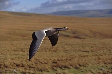 Bar-headed Goose (Anser indicus) flying during filming of 'Supernatural'  -  John Downer/ npl