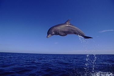 Bottlenose Dolphin (Tursiops truncatus) leaping, Bahamas  -  John Downer/ npl