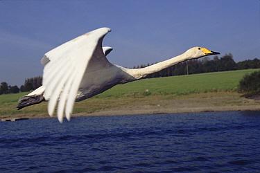 Whooper Swan (Cygnus cygnus) flying  -  John Downer/ npl