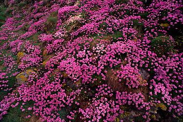 Sea Thrift (Armeria maritima) flowering, Scotland  -  Niall Benvie/ npl