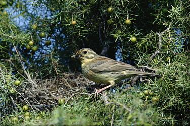 Cirl Bunting (Emberiza cirlus) female feeding, Spain  -  Jose B. Ruiz/ npl