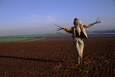 Scarecrow in ploughed field, October, Norfolk, England  -  Adam White/ npl
