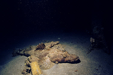 Crocodile Flathead (Cociella crocodila) group, Red Sea, Egypt  -  Georgette Douwma/ npl