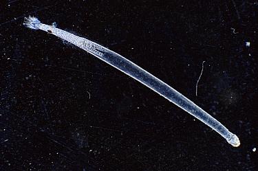 Arrow Worm, plankton animal  -  Sinclair Stammers/ npl
