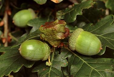Knopper Gall Wasp (Andricus quercuscalicis) larvae made gall on Oak (Quercus sp) acorn, England  -  Chris O'Reilly/ npl