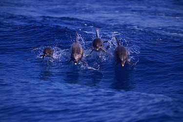 Atlantic Spotted Dolphin (Stenella frontalis) pod with two mother and calf pairs, Bimini, Bahamas  -  Tom Walmsley/ npl